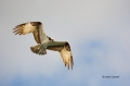 Pandion-haliaetus;Flight;Flying-bird;One-animal;Close-up;Color-image;photography