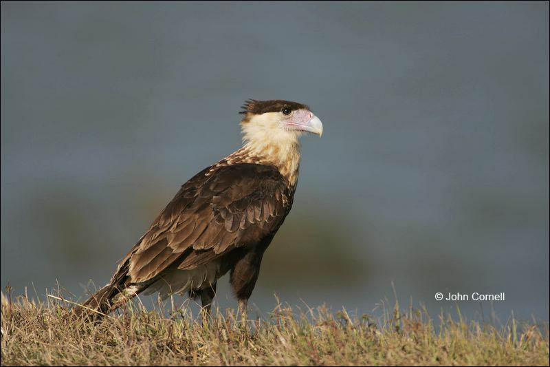Northern Caracara;Caracara;Caracara cheriway;Juvenile;Birds of Prey;Curved Beak;Hunter;Hunters;Predator;Predatory;Talon;Talons;Raptor;Raptors;one animal;close-up;color image;photography;day;outdoors. Wildlife;birds;animals in the wild;avifauna;feathered;feathers;wilderness;perch;perching;watch;watchful