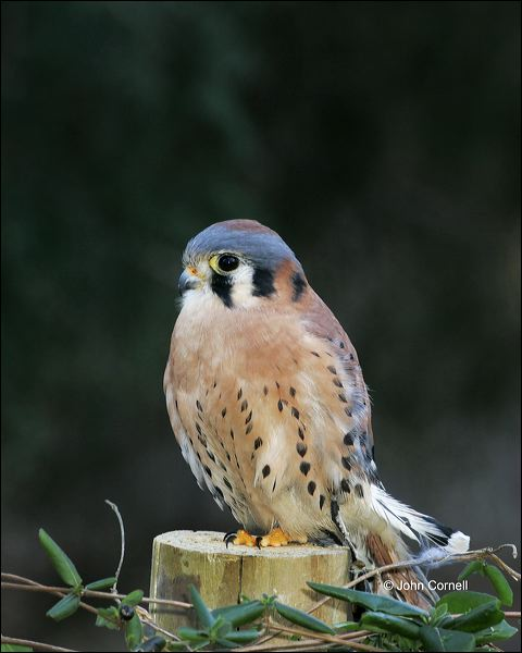 American Kestrel;Kestrel;Male;one animal;close-up;color image;nobody;photography;day;outdoors. Wildlife;birds;animals in the wild;Falco sparverius;Birds of Prey;Curved Beak;Hunter;Hunters;Predator;Predatory;Talon;Talons;Raptor;Raptors;avifauna;feathered;feathers;wilderness;perch;perching;watch;portrait;eye;nature;wild;looking;perched;watchful