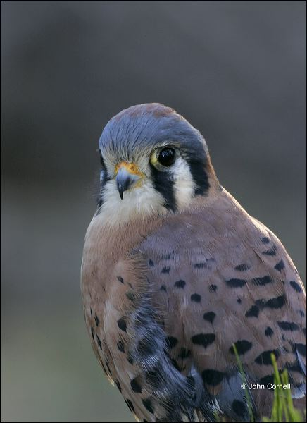 American Kestrel;Kestrel;one animal;close-up;color image;nobody;photography;day;outdoors. Wildlife;birds;animals in the wild;Falco sparverius;Birds of Prey;Curved Beak;Hunter;Hunters;Predator;Predatory;Talon;Talons;Raptor;Raptors;avifauna;feathered;feathers;wilderness;perch;perching;watch;portrait;eye;nature;wild;looking;perched;watchful