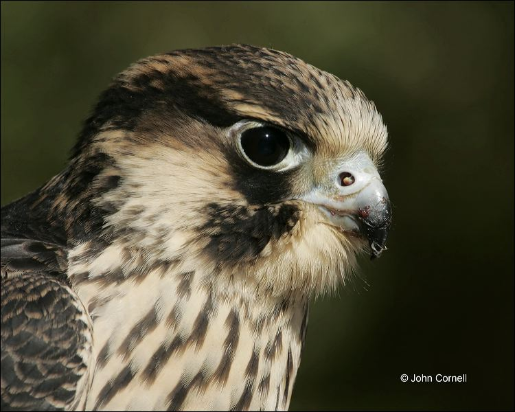 Peregrine Falcon;Falcon;Falco peregrinus;portrait;one animal;close-up;color image;nobody;photography;day;birds;animals in the wild;Birds of Prey;Curved Beak;Hunter;Hunters;Predator;Predatory;Talon;Talons;Raptor;Raptors;avifauna;feathered;feathers;wilderness;perch;perching;watch;watchful;eye;nature;wild;looking;perched;outdoors;Wildlife;Close up;close up
