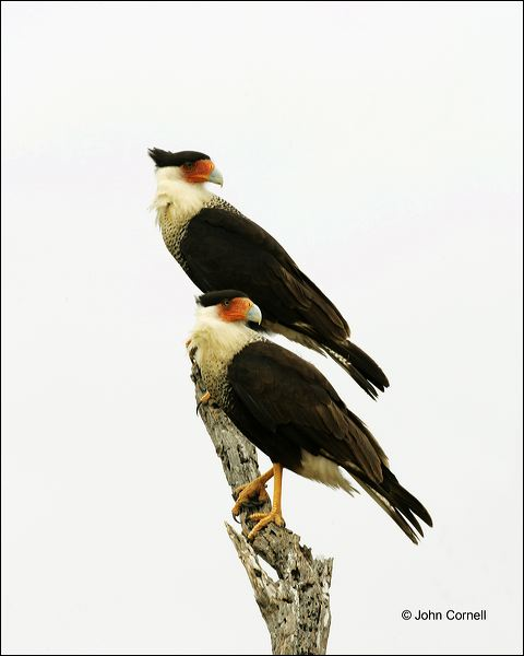 Northern Caracara;Caracara;Caracara cheriway;one animal;close-up;color image;nobody;photography;day;outdoors. Wildlife;birds;animals in the wild;Birds of Prey;Curved Beak;Hunter;Hunters;Predator;Predatory;Talon;Talons;Raptor;Raptors;avifauna;feathered;feathers;wilderness;perch;perching;watch;watchful