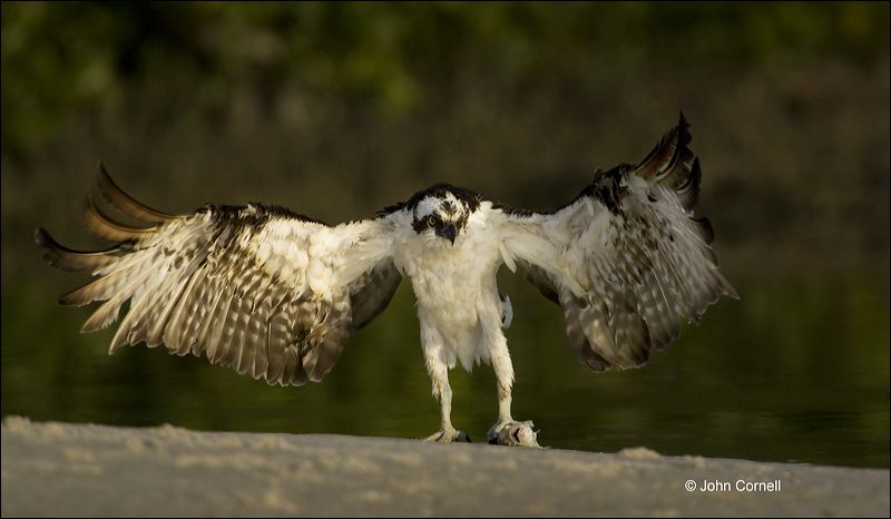 Florida;Osprey;Prey;Pandion haliaetus;feeding behavior;one animal;close-up;color image;nobody;photography;day;outdoors. Wildlife;birds;animals in the wild;foraging;feeding;prey;Birds of Prey;Curved Beak;Hunter;Hunters;Predator;Predatory;Talon;Talons;Raptor;Raptors;avifauna;feathered;feathers;wilderness;perch;perching;watch;watchful