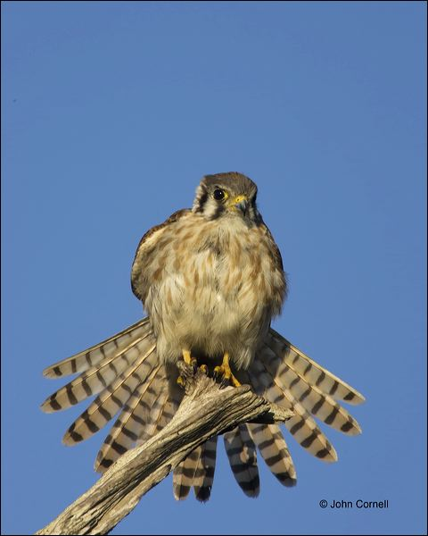 Falcon;Florida;Kestrel;American Kestrel;Falco sparverius;Birds of Prey;Curved Beak;Hunter;Hunters;Predator;Predatory;Talon;Talons;Raptor;Raptors;close-up;avifauna;feathered;feathers;wilderness;perch;perching;watch;portrait;eye;nature;wild;looking;perched;watchful