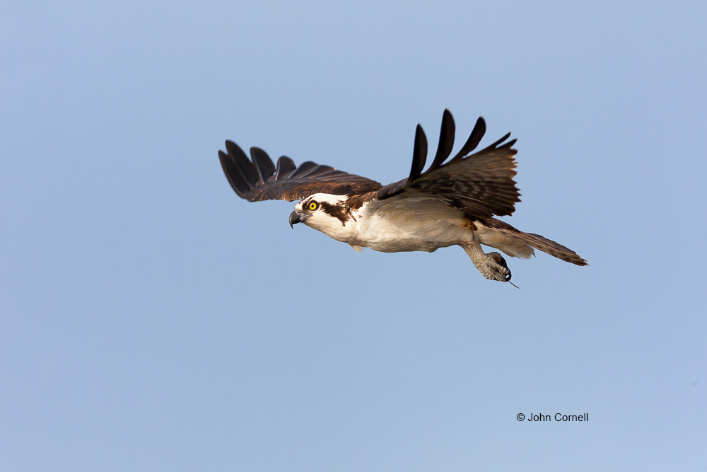 Birds of Prey;Flying Bird;Osprey;Pandion haliaetus;Photography;action;active;aloft;behavior;birds;color image;flight;fly;flying;in flight;motion;movement;one animal;soar;soaring;wing;winged;wings