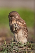 Athene-cunicularia;Birds-of-Prey;Burrow;Burrowing-Owl;Nest;chick;chicks;predator