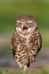 Athene-cunicularia;Birds-of-Prey;Burrow;Burrowing-Owl;Nest;predator;predatorily;
