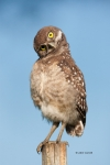 Athene-cunicularia;Birds-of-Prey;Burrowing-Owl;predator;predatorily;predators;pr