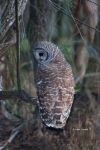 Animals-in-the-Wild;Barred-Owl;Birds-of-Prey;One;Owl;Photography;Strix-varia;avi