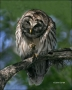 Barred-Owl;Owl;one-animal;color-image;nobody;photography;day;outdoors-Wildlife;b