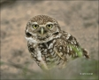 Burrowing-Owl;Owl;Athene-cunicularia;one-animal;close-up;color-image;nobody;phot