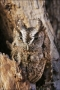 Eastern-Screech-Owl;Screech-Owl;Otus-asio;one-animal;close-up;color-image;nobody