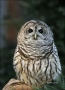 Barred-Owl;Owl;Strix-varia;one-animal;close-up;color-image;nobody;photography;da