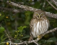 Ferruginous-Pygmy-Owl;Owl;Glaucidium-brasilianum;one-animal;close-up;color-image