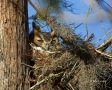 Owl;Florida;Bubo-virginianus;Sleeping;Great-Horned-Owl;one-animal;close-up;color
