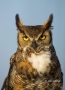 Owl;Florida;Southeast-USA;Bubo-virginianus;Great-Horned-Owl;Birds-of-Prey;curved