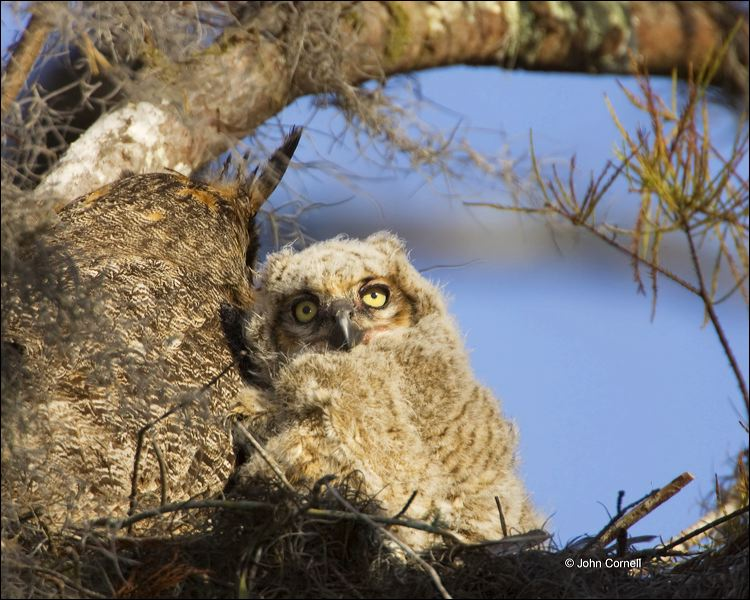 Florida;Everglades;Southeast USA;Owl;Great Horned Owl;Bubo virginianus;one animal;close-up;color image;nobody;photography;day;outdoors. Wildlife;birds;animals in the wild;Birds of Prey;Curved Beak;Hunter;Hunters;Predator;Predatory;Talon;Talons;Nest;Butorides virescens;Owls;portrait;watchful;Close up;close up;avifauna;feathered;feathers;wilderness;perch;perching;watch;Chick;chicks;cute;family;fledgling;fledglings;immature;innocence;innocent;juvenile;juveniles;offspring;precious;sweet;youth;color photograph;color image