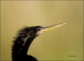Florida;Southeast-USA;Anhinga;Anhinga-anhinga;portrait;one-animal;close-up;color