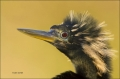 Florida;Southeast-USA;Everglades;Anhinga;Anhinga-anhinga;portrait;one-animal;clo
