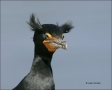 Double-crested-Cormorant;Florida;Everglades;Cormorant;Southeast-USA;Breeding-Plu