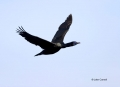 Cormorant;Flight;Brandts-Cormorant;California;Phalacrocorax-penicillatus;Flying-