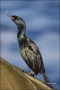 Brandts-Cormorant;Cormorant;California;Phalacrocorax-penicillatus;one-animal;clo