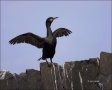 Shag;Phalacrocorax-aristotelis;Scotland;one-animal;close-up;color-image;nobody;p
