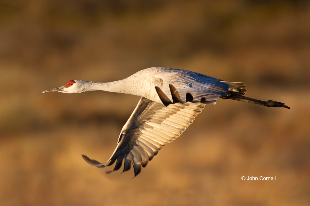 Crane;Grus canadensis;One;Sandhill Crane;Sunrise;avifauna;bird;birds;color image;color photograph;feather;feathered;feathers;flight;natural;nature;outdoor;outdoors;wild;wilderness;wildlife