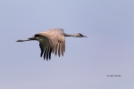 California;Crane;Grus-canadensis;Merced-National-Wildlife-Refuge;Sandhill-Crane