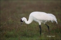 Whooping-Crane;Crane;Florida;Southeast-USA;Grus-americana;Endangered-Species;One