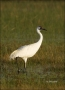 Florida;Whooping-Crane;Crane;Southeast-USA;Grus-americana;one-animal;close-up;co