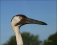 Whooping-Crane;Crane;Grus-americana;portrait;one-animal;close-up;color-image;nob
