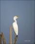 Florida;Southeast-USA;Cattle-Egret;Egret;Bubulcus-ibis;one-animal;close-up;color