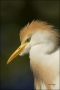 Cattle-Egret;Breeding-Plumage;Egret;Florida;Bubulcus-ibis;portrait;one-animal;cl