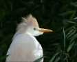 Cattle-Egret;Breeding-Plumage;Egret;Bubulcus-ibis;portrait;one-animal;close-up;c