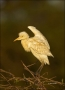 Cattle-Egret;Egret;Bubulcus-ibis;one-animal;close-up;color-image;photography;day