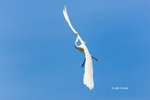 Ardea-alba;Egret;Flying-Bird;Great-Egret;Photography;action;active;aloft;behavio