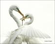 Great-Egret;one-animal;close-up;color-image;nobody;photography;day;birds;animals