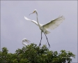 Egret;Nest-Building;Flight;Great-Egret;Florida;Southeast-USA;Ardea-alba;flying-b