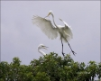 Egret;Nest-Building;Breeding-Plumage;Flight;Great-Egret;Florida;Southeast-USA;Ar