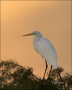 Florida;Southeast-USA;Great-Egret;Egret;Sunrise;Ardea-alba;one-animal;close-up;c