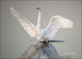 Great-Egret;Egret;Florida;Ardea-alba;Flying-bird;action;aloft;behavior;flight;fl