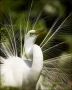 Great-Egret;Egret;Florida;Breeding-Display;Breeding-Plumage;Ardea-alba;portrait;