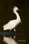Snowy-Egret;Egret;Egretta-thula;One;one-animal;avifauna;bird;birds;feather;feath