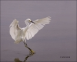 Florida;Snowy-Egret;Egret;Flight;Southeast-USA;Egretta-thula;flying-bird;one-ani