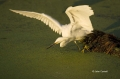 Florida;Southeast-USA;Snowy-Egret;Egretta-thula;One;one-animal;avifauna;bird;bir