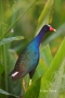 Purple-Gallinule;Gallinule;Porphyrula-martinica;One;one-animal;avifauna;bird;bir