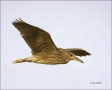 American-Bittern;Bittern;Flight;Botaurus-lentiginosus;flying-bird;one-animal;clo