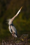 Ardea-herodias;Breeding-Behavior;Breeding-Display;Breeding-Plumage;Great-Blue-He
