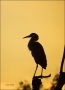 Florida;Southeast-USA;Great-Blue-Heron;Heron;Scenic;Sunrise;Ardea-herodias;one-a